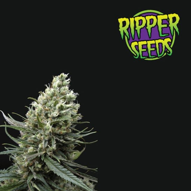 Its aroma, unmistakable flavor to citrus Haze and